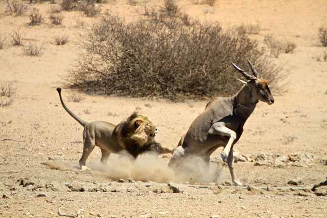 lion-and-eland-attack